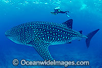 Whale Shark and Scuba Diver image