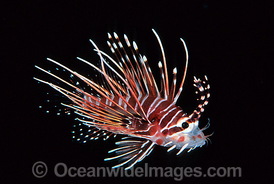 White-lined Lionfish (Pterois radiata) - juvenile. Size: 20mm. Indo-Pacific Photo - Gary Bell