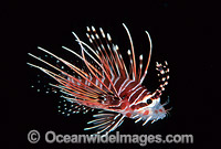 White-lined Lionfish Pterois radiata image