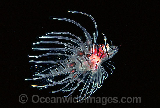 Common Lionfish (Pterois volitans) - juvenile. Size: 20mm. Also known as Firefish. Great Barrier Reef, Queensland, Australia