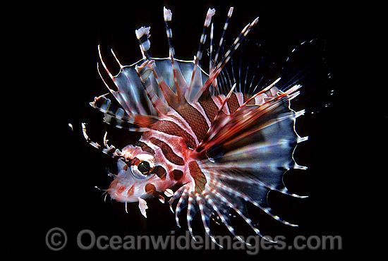 Zebra Lionfish (Dendrochirus zebra) - adolescent. Great Barrier Reef, Queensland, Australia