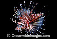 Zebra Lionfish Dendrochirus zebra adolescent photo