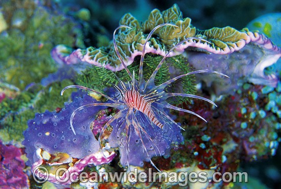 Clearfin Lionfish (Pterois kodipungi). Found throughout Java Seas, Indonesia and possibly northern Australia.