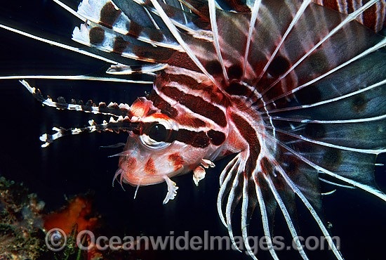 Ragged-finned Lionfish (Pterois antennata). Also known as Spotfin Lionfish. Great Barrier Reef, Queensland, Australia Photo - Gary Bell