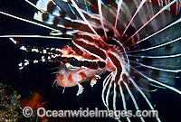 Zebra Lionfish Dendrochirus zebra photo