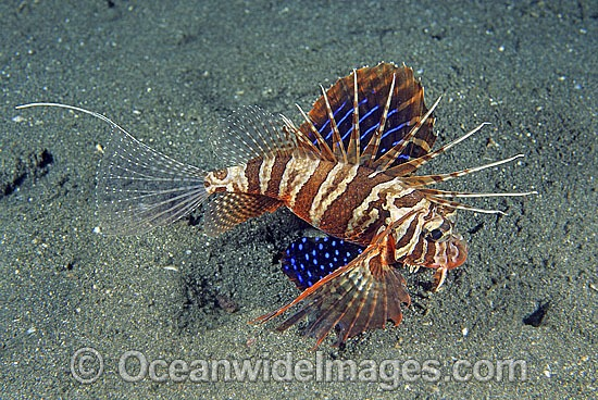 Gurnard Lionfish (Parapterois heterura). Found throughout the Indo-West Pacific, but not common. Photo taken in Bali, Indonesia.