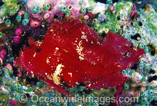 Leaf Scorpionfish (Taenianotus triacanthus) - red phase. Also known as Paper Scorpionfish. Indo-Pacific