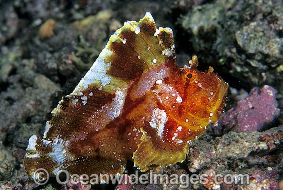 Leaf Scorpionfish (Taenianotus triacanthus). Also known as Paper Scorpionfish. Indo-Pacific