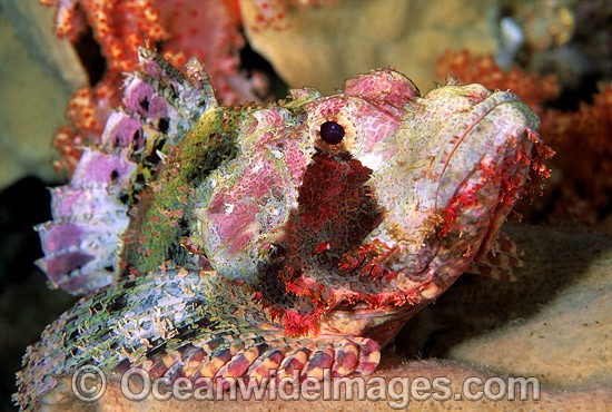 Small-scale Scorpionfish (Scorpaenopsis oxycephala). Great Barrier Reef, Queensland, Australia