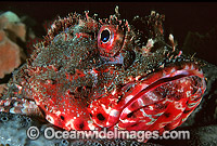 Red Scorpionfish Scorpaena cardinalis Photo - Gary Bell