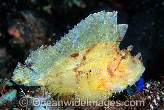 Leaf Scorpionfish (Taenianotus triacanthus) - yellow phase. Also known as Paper Scorpionfish. Indo-Pacific