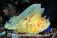 Leaf Scorpionfish yellow phase photo