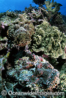 Two Reef Stonefish photo