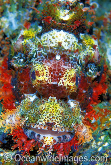 Small-scale Scorpionfish (Scorpaenopsis oxycephala). Great Barrier Reef, Queensland, Australia Photo - Gary Bell