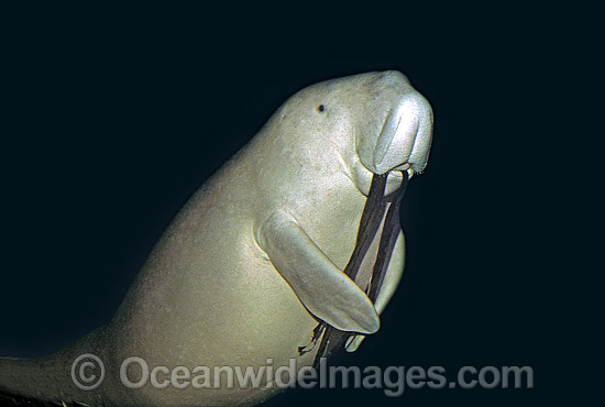 Dugong (Dugong dugon). Also known as Sea Cow. Philippines. Classified Vulnerable on the IUCN Red List. Now a Protected species.