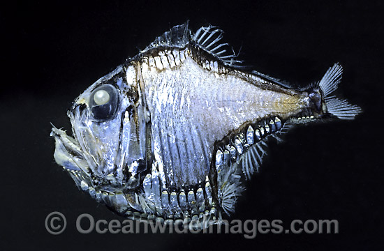 40M0911-01-lovely-hatchetfish.jpg