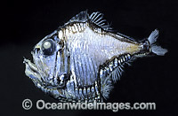 Lovely Hatchetfish Argyropelecus aculeatus photo