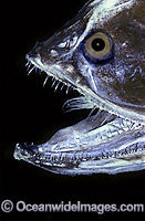 Bristlemouth Fish Gonostoma bathyphilum Deep sea fish Photo - Rudie Kuiter