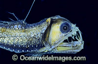 Viperfish Chauliodus sloani Deep sea fish Photo - Rudie Kuiter