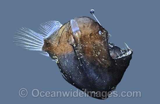 Humpback Anglerfish (Melanocetus johnsonii) showing luminescent lure. Deep sea fish found off Victoria, Australia Photo - Rudie Kuiter