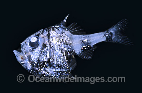Hatchetfish bioluminescence - photo#15