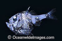Hatchetfish Argyropelecus hemigymnus Deep sea fish Photo - Rudie Kuiter