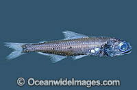 Lanternfish Symbolophorus barnardi Deep sea fish Bass Strait Photo - Rudie Kuiter