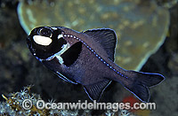 One-fin Flashlight Fish Photoblepharon palpebratus Photo - Rudie Kuiter