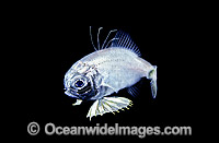 Two-fin Flashlight Fish pelagic stage larvae photo