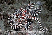 Wonderpus Octopus Wunderpus photogenicus Photo - Rudie Kuiter