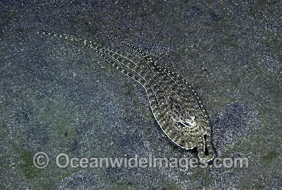 Mimic Octopus (Thaumoctopus mimicus). Mimicking a Flounder. Flores, Indonesia Photo - Rudie Kuiter