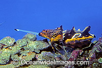 Flamboyant Cuttlefish feeding photo
