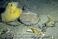 Commercial Scallop Pecten fumatus Photo - Rudie Kuiter