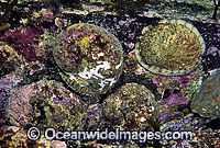 Blacklip Abalone Haliotis rubra Photo - Gary Bell