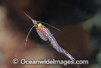 Mysid Shrimp Paramesodopsis rufa Portsea photo