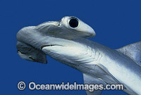 Smooth Hammerhead Shark Sphyrna zygaena Photo - Rudie Kuiter