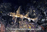 Horn Shark Heterodontus japonicus photo