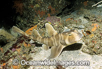 Horn Shark Izu Peninsula Japan image
