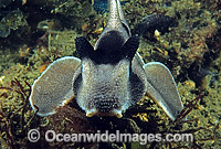 Crested Horn Shark Heterodontus galeatus Photo - Rudie Kuiter