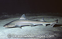 Gummy Shark Mustelus lenticulatus photo