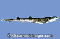 Sawtail Shark Galeus boardmana Photo - Rudie Kuiter