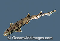 Western spotted Catshark Asymbolus sp. Photo - Rudie Kuiter