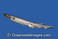 Frilled Shark Chlamydoselachus anguineus Photo - Rudie Kuiter