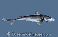 Shortnose Spurdog Squalus megalops photo