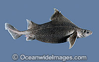 Prickly Dogfish Oxynotus bruniensis Photo - Rudie Kuiter