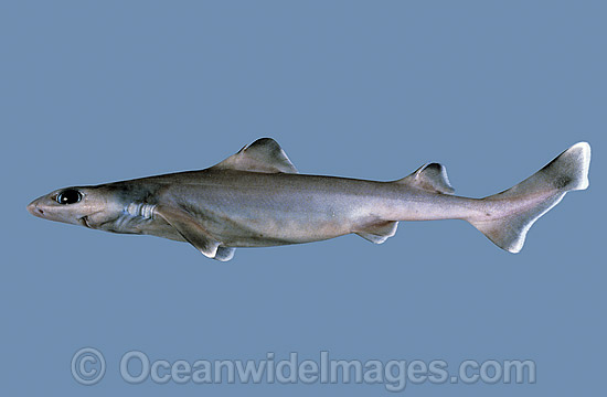 Southern Dogfish (Centrophorus uyato). Also known as Little Gulper Shark and Dogshark. Conservation status - potentially threatened species. Deep sea Shark found off Southern Australia