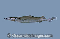 Longsnout Dogfish Deania quadrispinosa photo