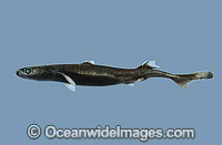 New Zealand Lantern Shark Etmopterus baxteri Photo - Rudie Kuiter