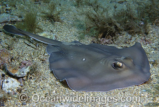 Sparsely-spotted Stingaree (Urolophus paucimaculatus). Also known as White-spotted Stingaree. Port Phillip Bay, Victoria, Australia Photo - Gary Bell