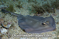 Sparsely-spotted Stingaree Urolophus paucimaculatus Photo - Gary Bell